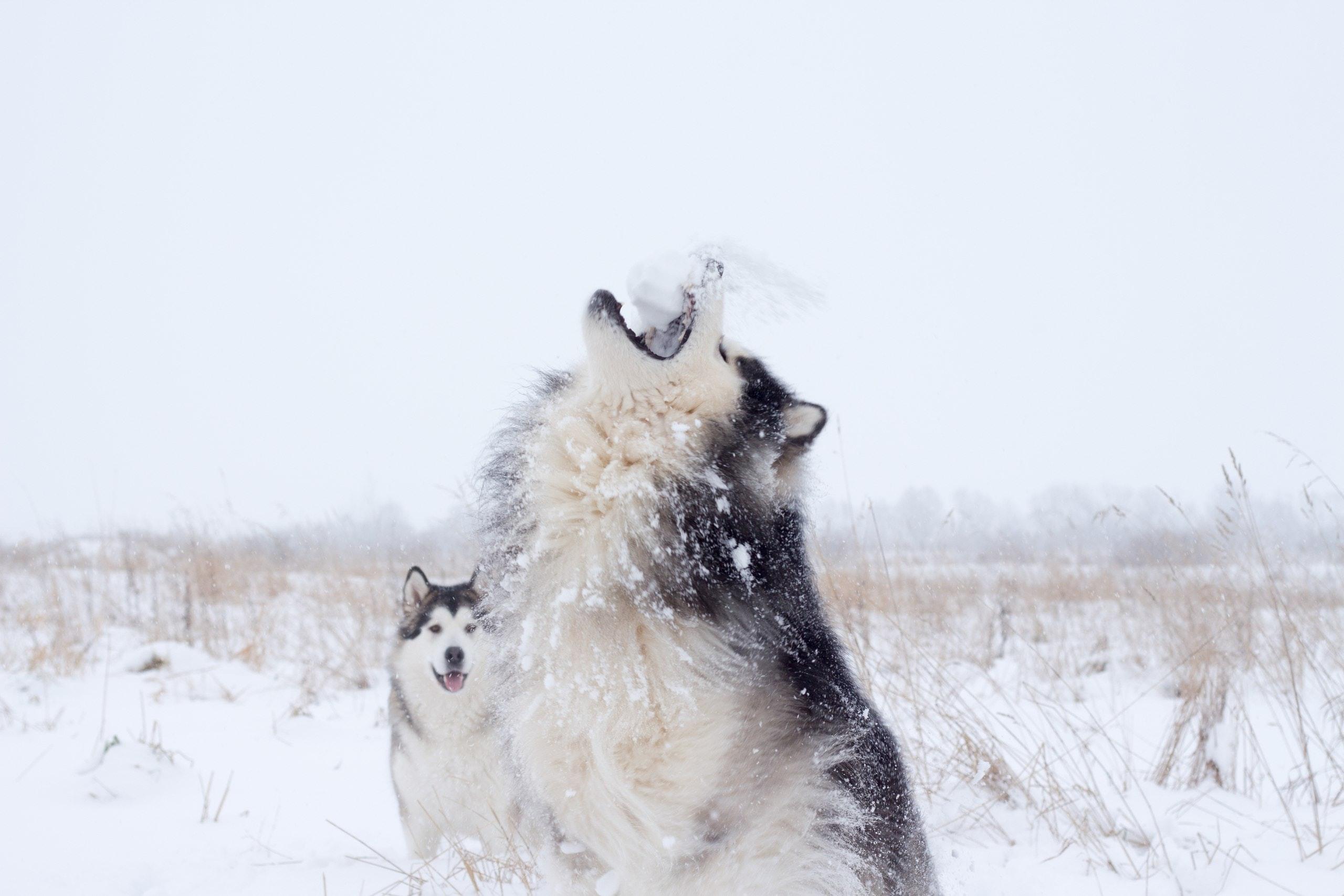 heulende-Hunde